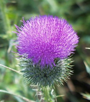 Blue Thistle Genealogy,